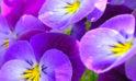 Oltre 100 colori di viole della nostra produzione